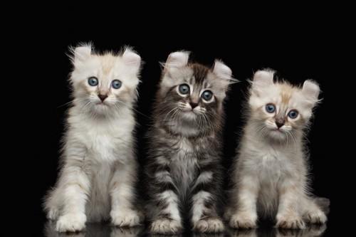 並んで座る3匹のアメリカンカールの子猫