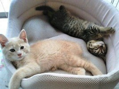 猫用ベッドの中の2匹の子猫
