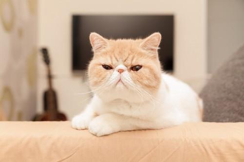 鼻の低い猫