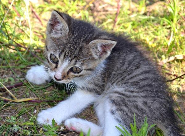 草むらのサバ白子猫