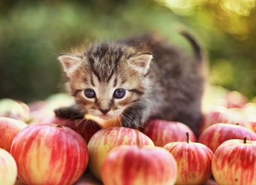 りんごに乗る猫