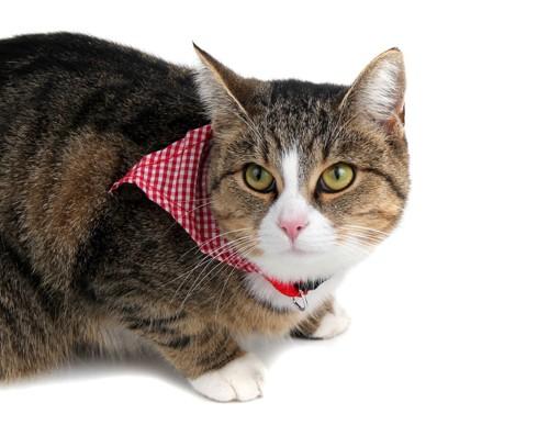 チェックのバンダナを巻いている猫