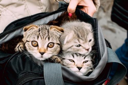 バッグに入る3匹の子猫