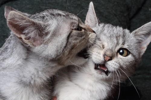 兄弟猫の顔を噛む猫
