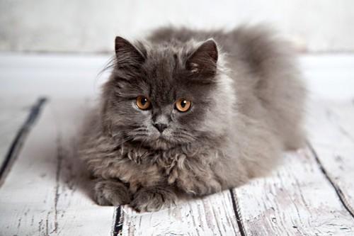 こちらを見るシルバー色の猫