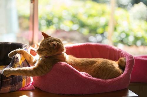 ピンクのベッドに入って日向ぼっこする猫