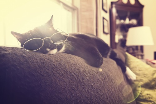 眼鏡をかけてソファーで眠る猫