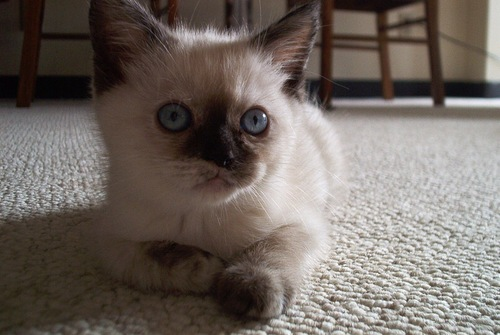 バリニーズ子猫の写真