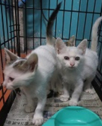ゲージの中の白い猫2匹の写真