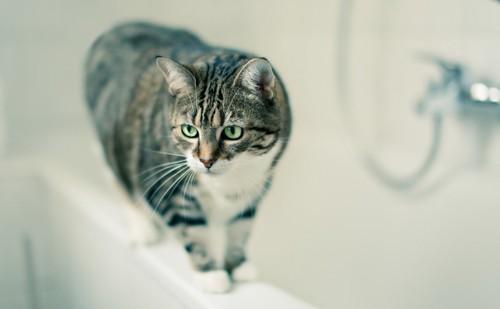 お風呂場にきた猫