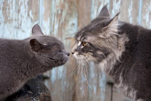 挨拶をする2匹の猫
