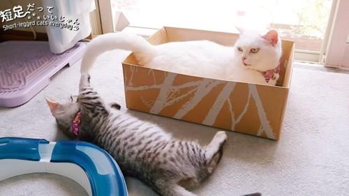 白猫のしっぽにじゃれる子猫