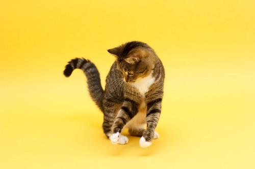 黄色の背景と猫