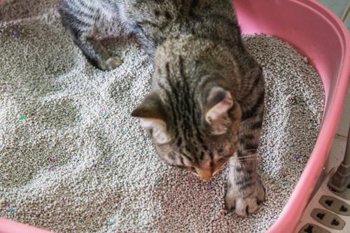 猫用トイレの中で砂を掻いている猫