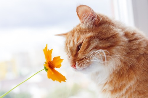 黄色い花の匂いを嗅ぐ猫