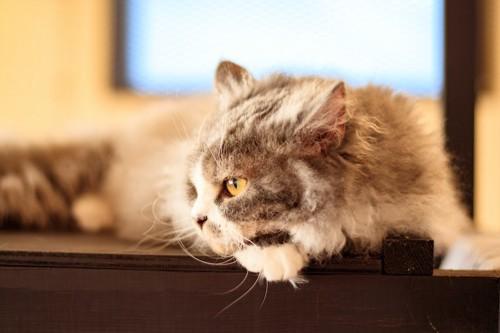 棚の上でくつろぐ猫の横顔