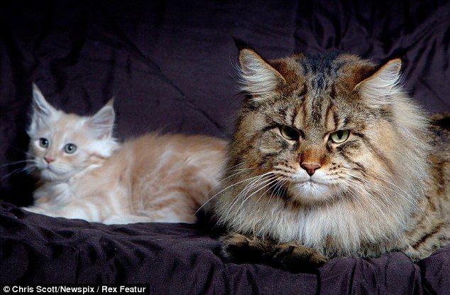 猫と並ぶメインクーン