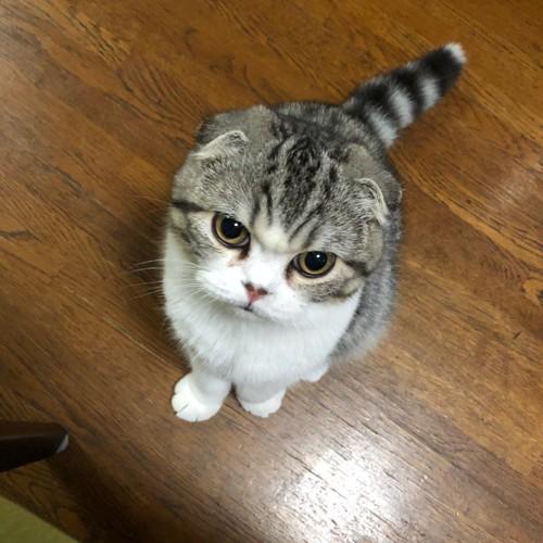険しい顔のまんまる猫