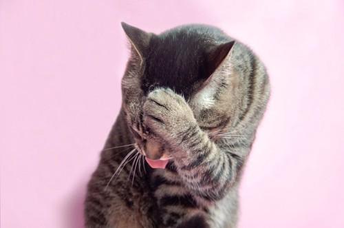 手で顔を隠して舌を出す猫