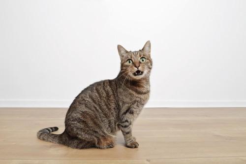 呼びかけるように鳴く猫