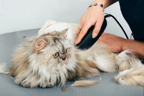 バリカンで毛を刈られる猫