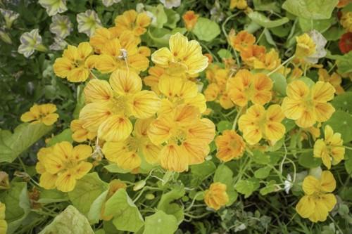 鮮やかな金蓮花