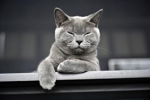 目をつぶるグレー猫