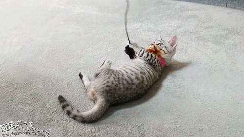 おもちゃを抱えて寝転ぶ子猫