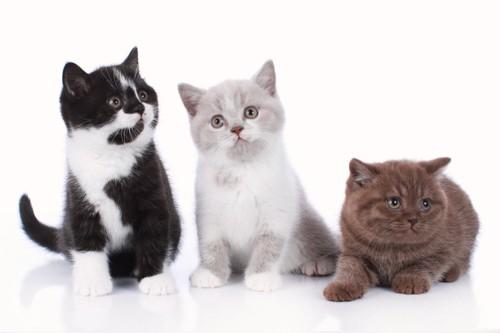 3匹のブリティッシュショートヘアの子猫