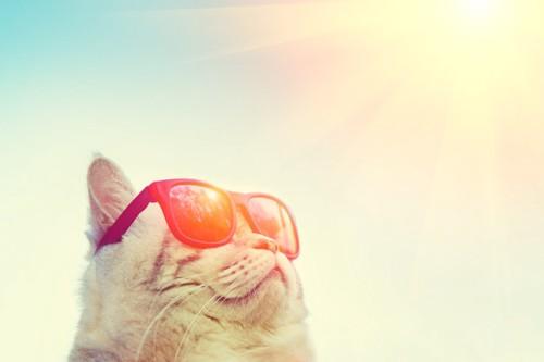 サングラスをして日差しを浴びる猫