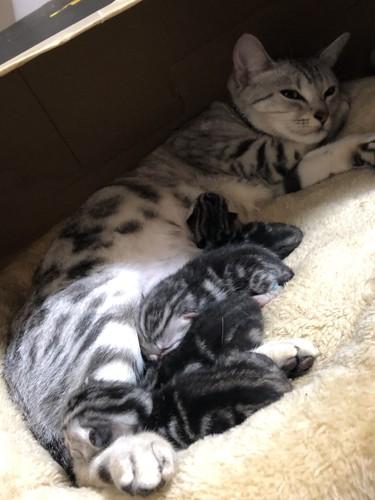 4匹の子猫に授乳するママ猫
