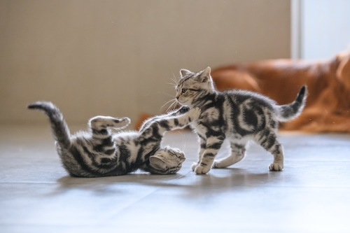 じゃれ合う2匹の子猫