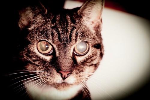 白内障を患っている猫のアップ