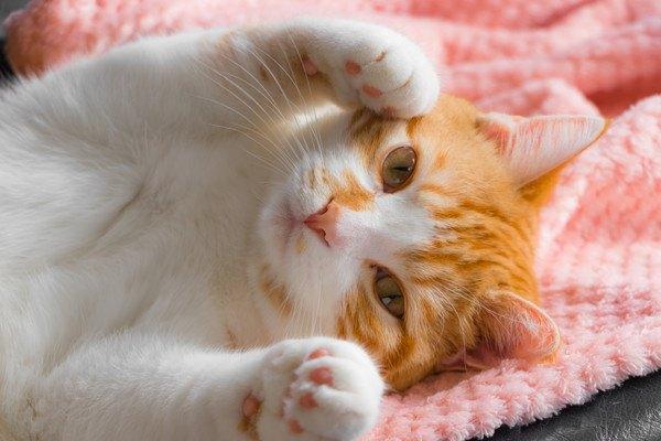 両手をあげて寝転ぶ猫
