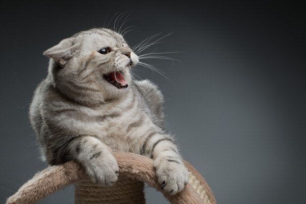 耳を倒して鳴く猫
