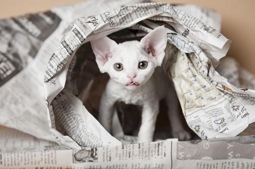 新聞紙の中に居る猫