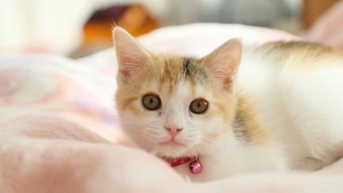 見つめる赤い首輪をしたしつこい子猫