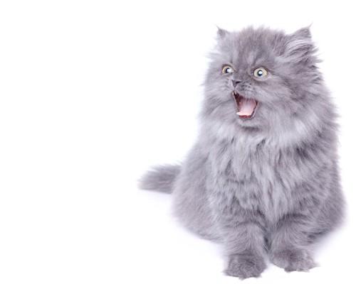 座って大きく口を開けている猫