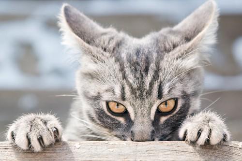 棚に手をかけてこちらを睨むイカ耳の猫