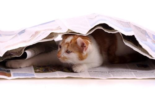 新聞紙の中に入る猫