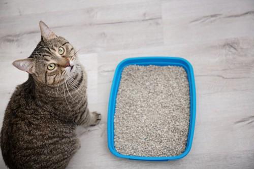 青いトイレの左側に座って見上げる猫