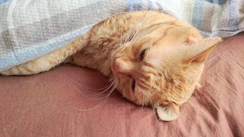 ベッドで布団をかけて寝る猫