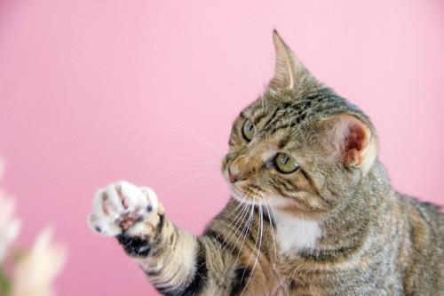 ピンク色の背景で手を伸ばす猫