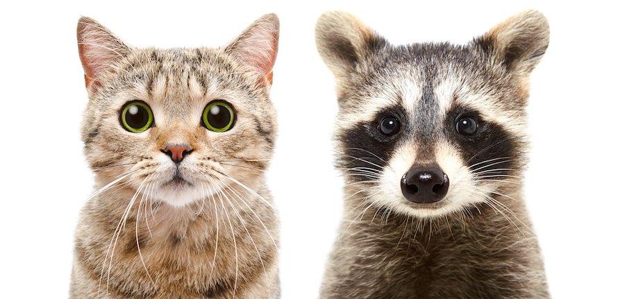猫とアライグマの正面の顏