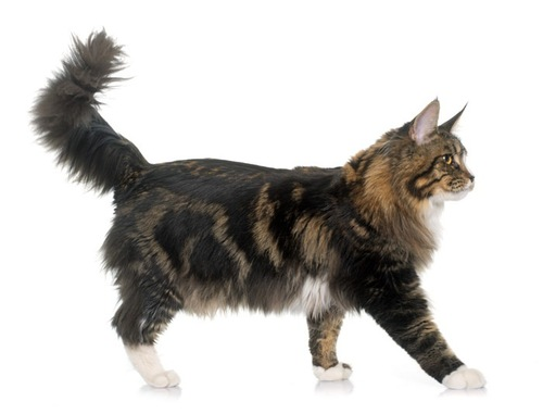 歩くかぎしっぽの猫