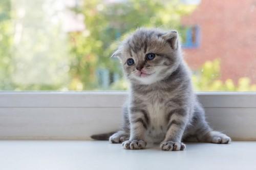 スコティッシュフォールドの体重の推移の目安. スコティッシュフォールドの子猫