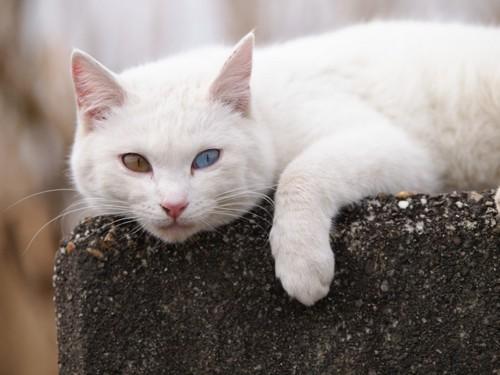 こちらをみている白い猫