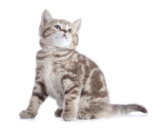 座って上を見るブラウンタビーの子猫