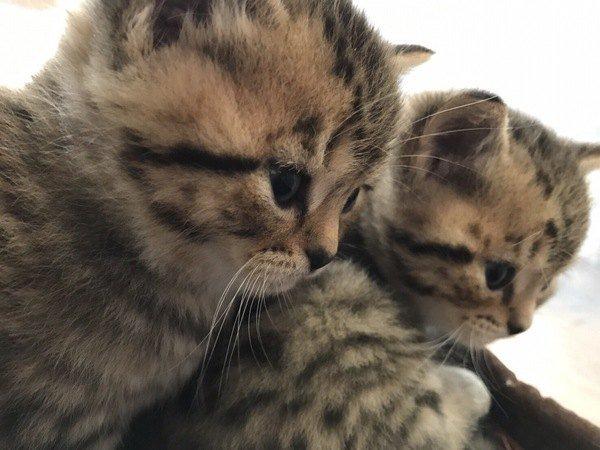 仲良しなスコティッシュフォールドの子猫たち