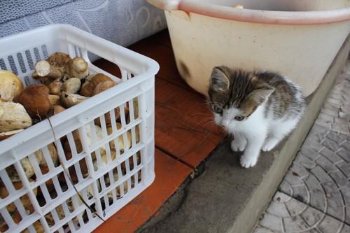 キノコの入った箱のそばに座る子猫
